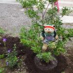 【家庭菜園】素人が庭にシンボルツリーを植えてみました(ソヨゴの木)